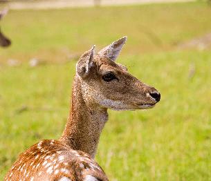 Fallow Deer Stalking 2